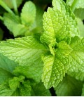 Green Mint, Minigarden Seeds